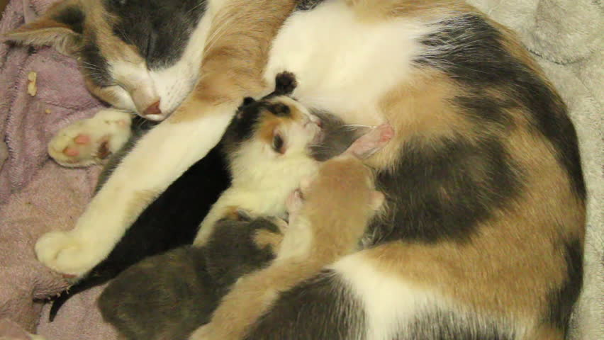 Newborn Domestic Short Hair Kittens Nursing On Their Calico Colored Mother Cat Stock Footage Video 5622263