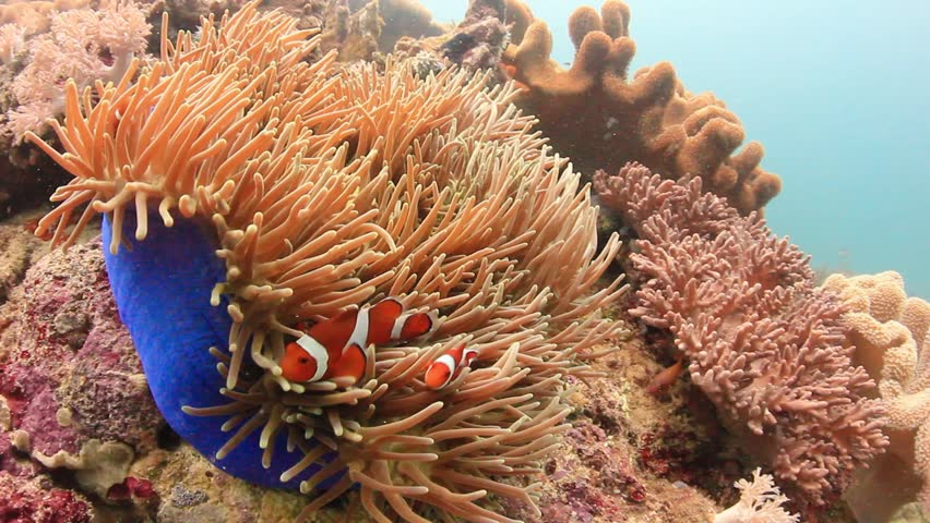 Anemonefish/Clownfish swimming around the protective tentacles of their home anemone | Shutterstock HD Video #5636813