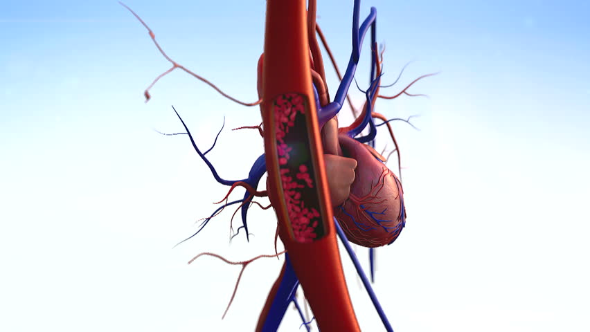 blood vessels, heart, artery shown with a cut out section, High quality rendering with original textures and global illumination, Contraction of blood vessels on a heart background