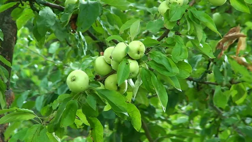 Apple tree harvest, green apples.