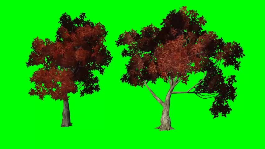 red maple moves in wind  - green screen