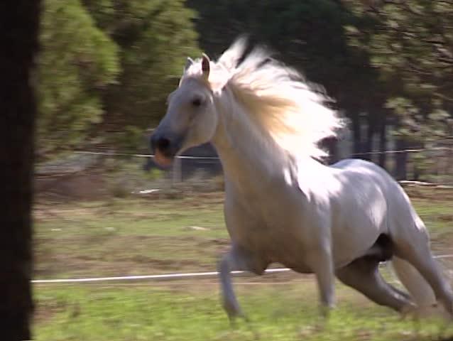 White Pure Spanish Horse galloping #5680883