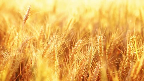 HD 1080 dynamic: Wheat ears on the field under sun light; one frame; approx. first three seconds still frame, about sixteen seconds right panning, and last three seconds resting;