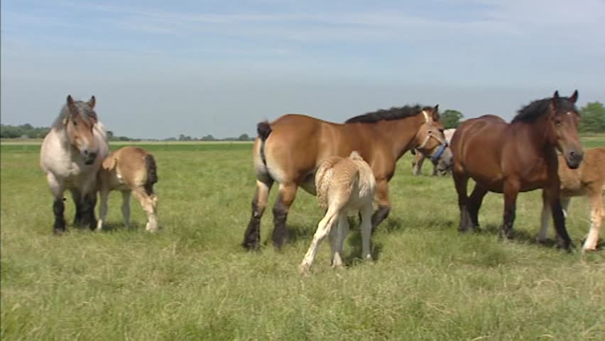 Belgian draft horses in various colours suckle their foals in summer meadow + pan. | Shutterstock HD Video #5690084