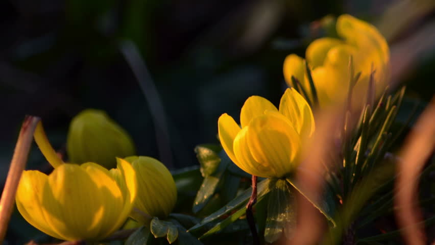 Time Lapse Yellow Flowers Closing Petals For Night Sleep Hd Stock Video Clip