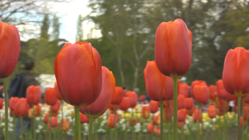 Red tulips with people walking in the background