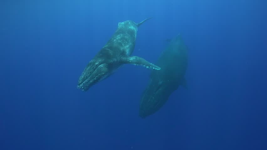 Humpback whales, mother and calf around the islands of Tahiti