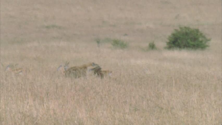 Hyena running through frame with kill, through wildebeest herd. #5757593
