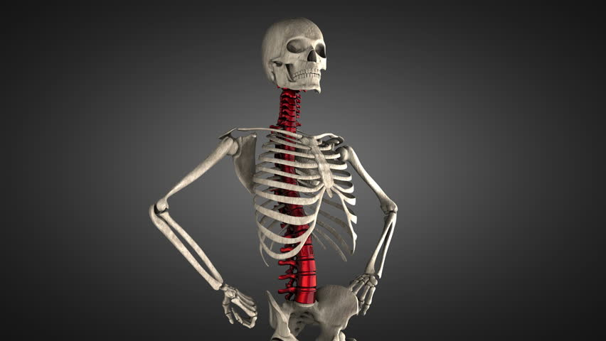 3d animation illustrating the human anatomy,skeleton muscles stock, Skeleton