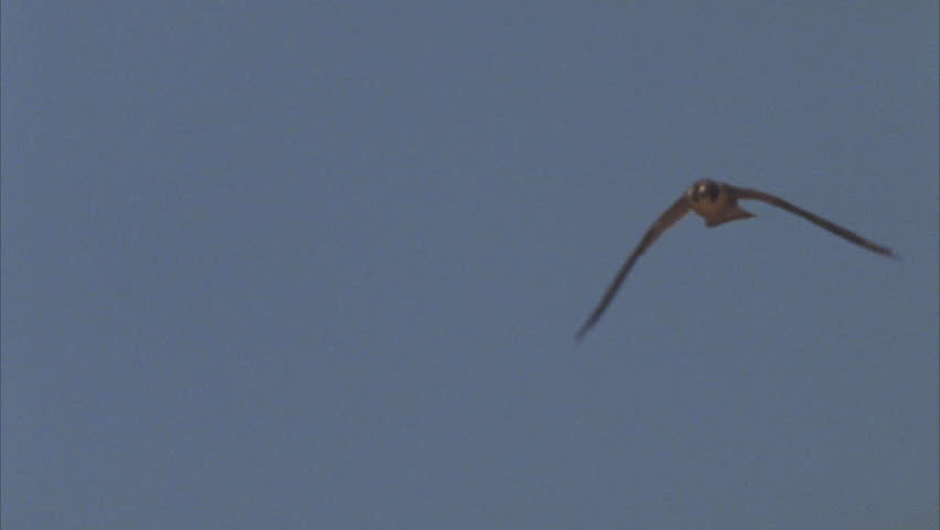 high speed Tracking shot of Peregrine falcon in air and towards camera