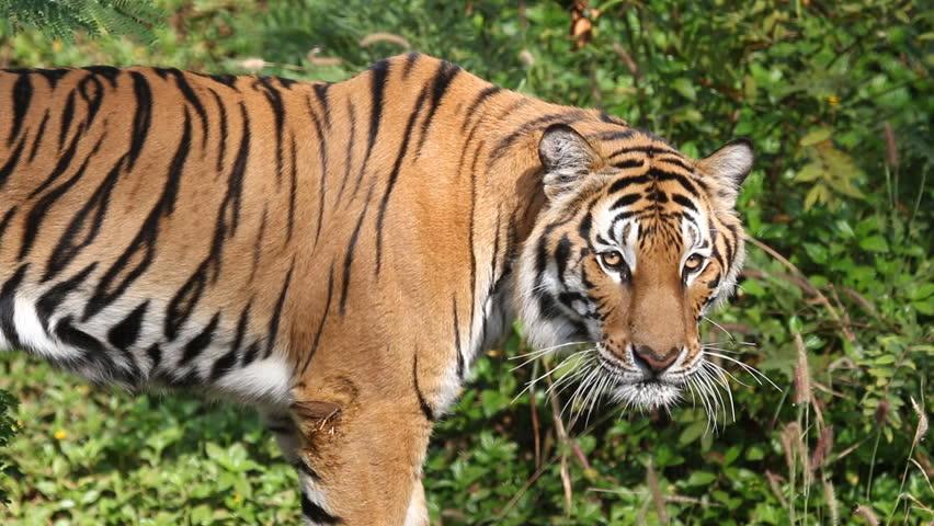 Header of tiger