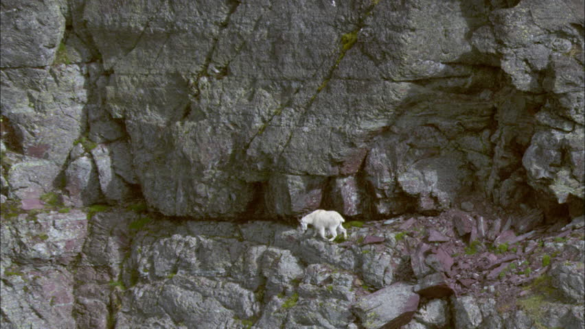 White Mountain Goat. A mountain goat scales the side of a mountain. Valley and mountain range are visible in the background.
