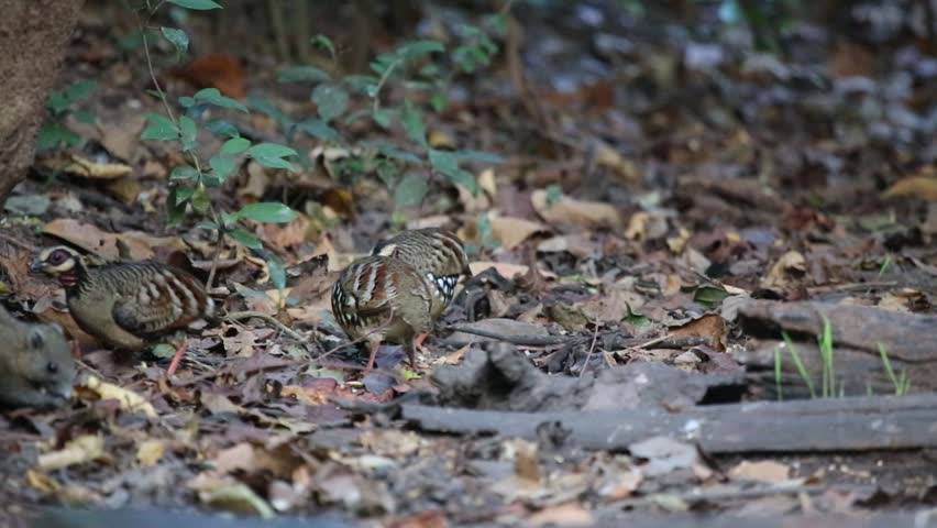 Flock of Bar-backed Partridge (also known as the Brown-breasted Hill-partridge) feed on seeds, small shells, and insects found in leaves on the forest floor in nature habitat. | Shutterstock HD Video #5808263