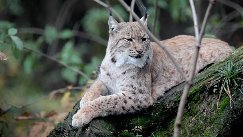 Close-up view HD footage of an Eurasian Lynx (Lynx lynx) lying and resting in a forest