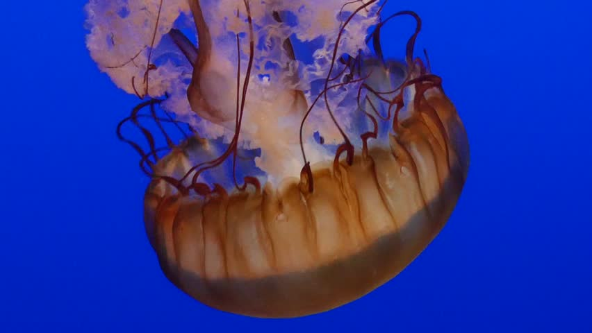 Monterey, California - January, 2014 - A single sea nettle swimming downward against the blue water