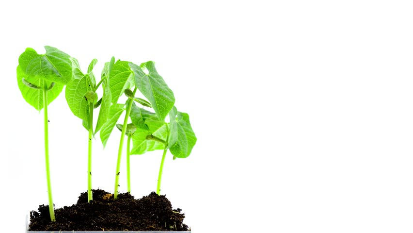 Sprout Stock Footage Video | Shutterstock