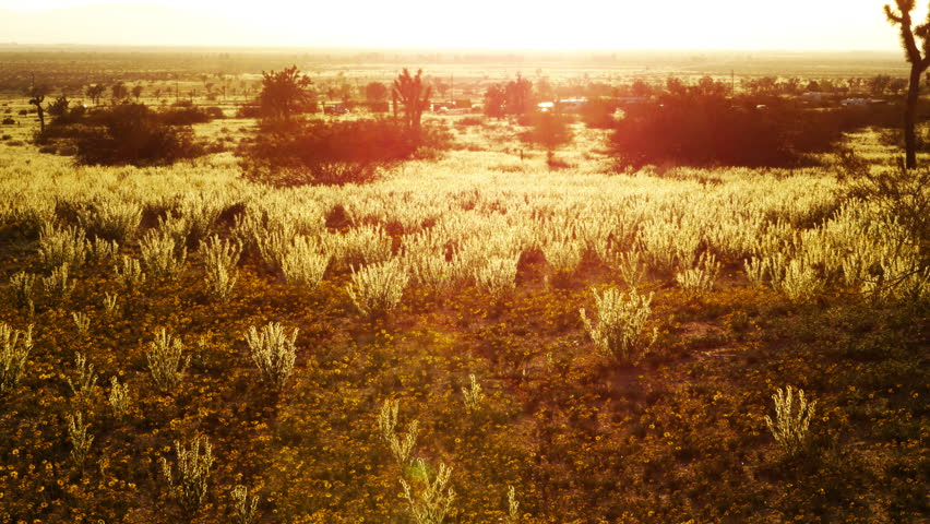 4K Time Lapse of Sunset over Golden Flower Carpet in Mojave Desert -Tilt Up-