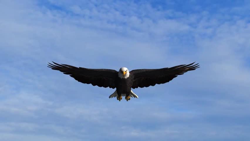 Bald Eagle Flys In The Sky