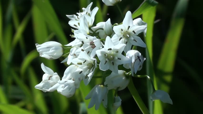 Header of Allium neapolitanum