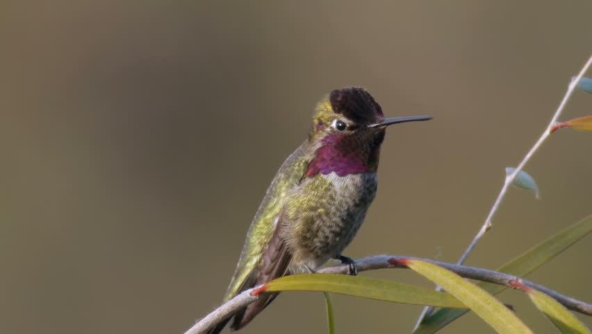Annas Hummingbird Close up While Nervous | Shutterstock HD Video #5996393