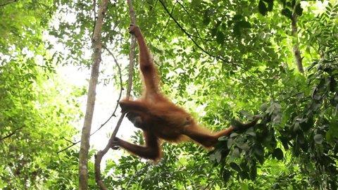 Wild orangutan climbing the vines in the wild jungle of Sumatra, Bukit Lawang.
