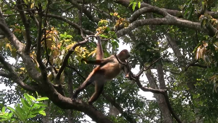 Spider monkeys play in a tree.