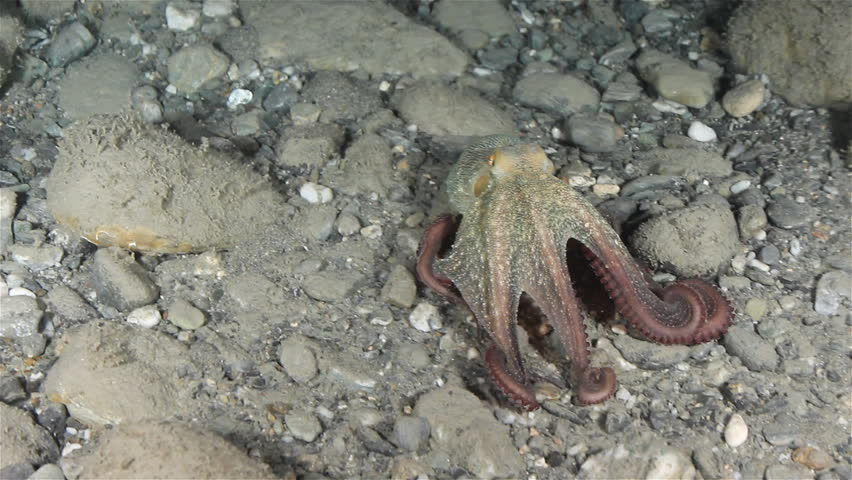 Octopus (Octopus Vulgaris) changes colors using chromatophores. Shot in the wild, nighttime.