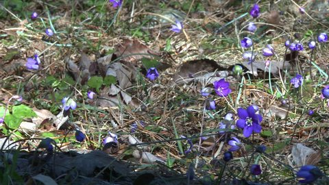 Flowering Liverwort, Hepatica nobilis during spring in Sweden