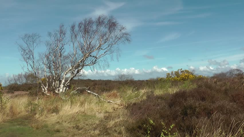 Lone tree in scrub land blowing in the spring wind, wirral, England, circa April 2014