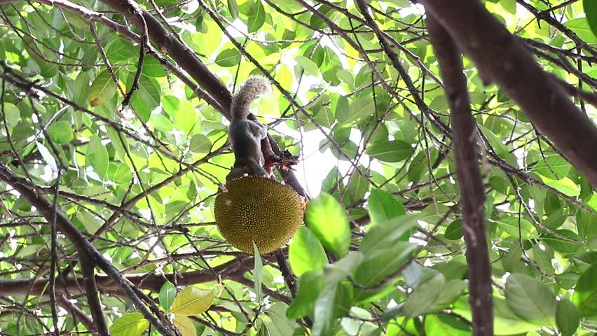 Squirrel eat fruit   Shutterstock HD Video #6101813