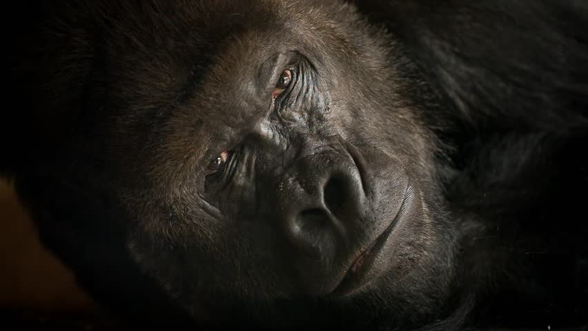 Face portrait of big gorilla male. Looking into camera. Menacing expression of the great ape, biggest monkey of world. Chief of a family (source: Full HD RAW video; shallow DOF, macro detail)
