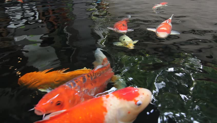 Koi fish fancy carp fish swimming in the pond top view for Colorful pond fish