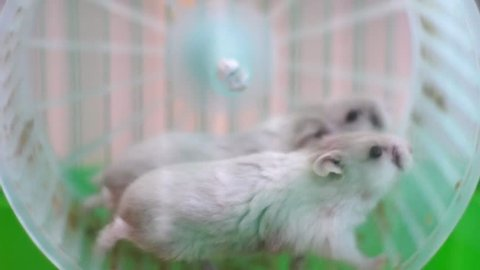 Funny hamsters on wheel in cage  Funny hamsters on wheel close up in full HD format