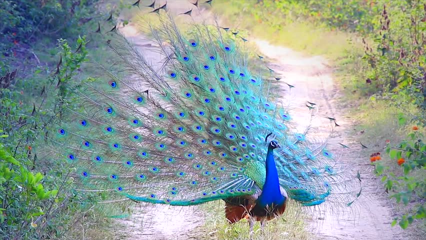 A WILD male Indian Peacock (Pavo cristatus) in breeding condition displays to attract a mate and defend territory in Jim Corbett National Park, Ramnagar, India. AKA Indian or Blue Peafowl.