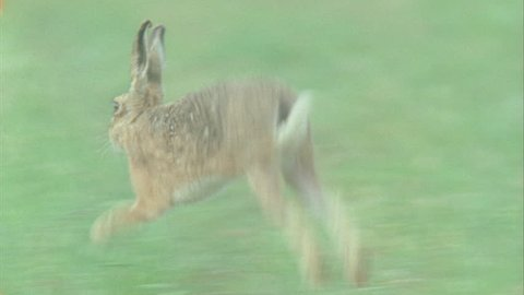 A rabbit runs through the grass and then stops to eat some