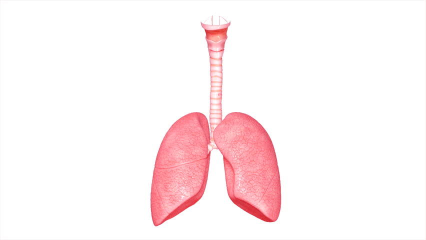 Lungs anatomy stock footage video 17804320 shutterstock human lungs hd stock video clip ccuart Images