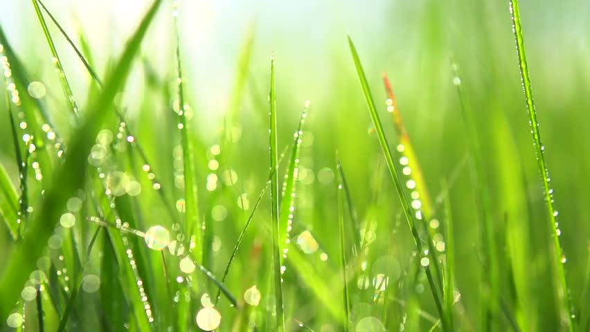 grass with dew drops  blurred stock footage video  100