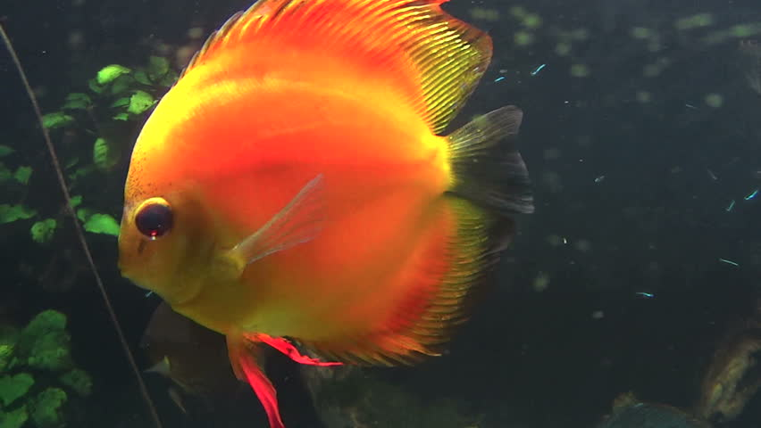 Рыбки дискусы видео