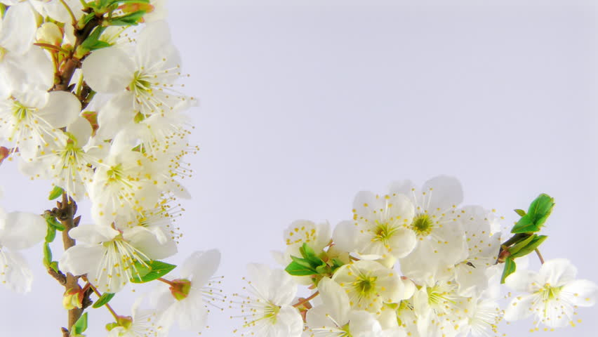 Timelapse cherry branch with opening flowers on white background.