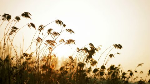 Wind blowing in the reed. Filmed against sun with shallow depth of field. Filmed in the afternoon, just before sunset.