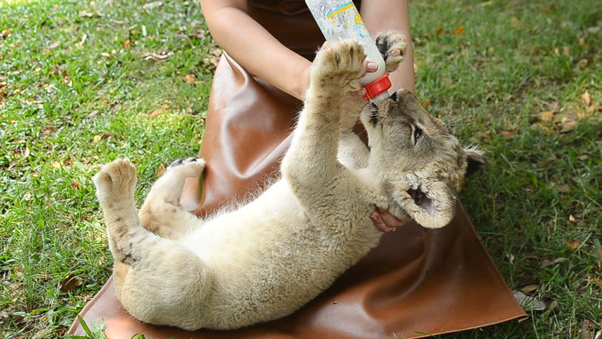 zookeeper take care and feeding baby lion