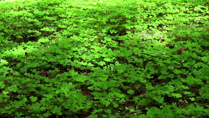 Header of oxalis acetosella