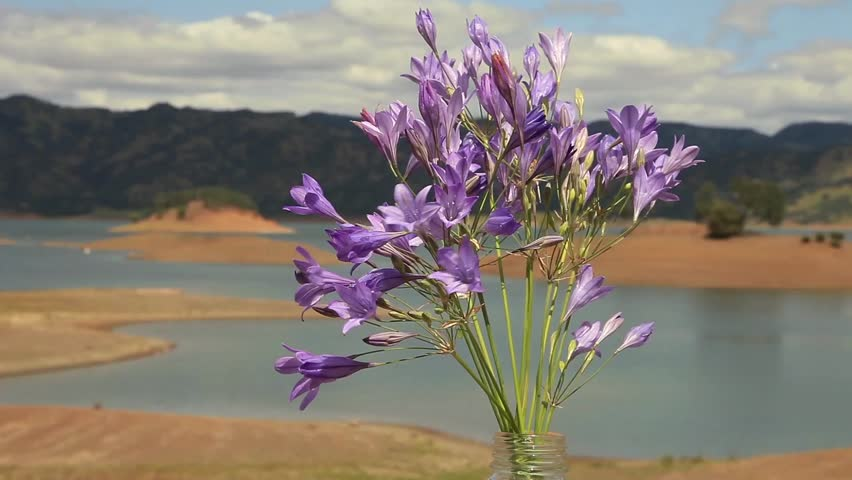 Bouquet Of Little Purple Flowers In Front Of Cloudy Sky And Lake ...