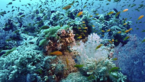 under water shot of prolific teaming coral reef landscape, full of schooling fish and colorful softcorals, filmed in the Red Sea, Sudan