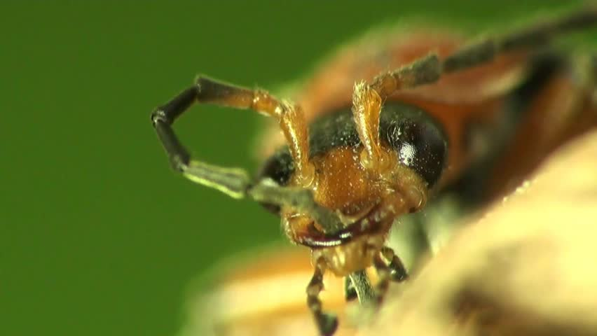Soldier beetle  Wikipedia