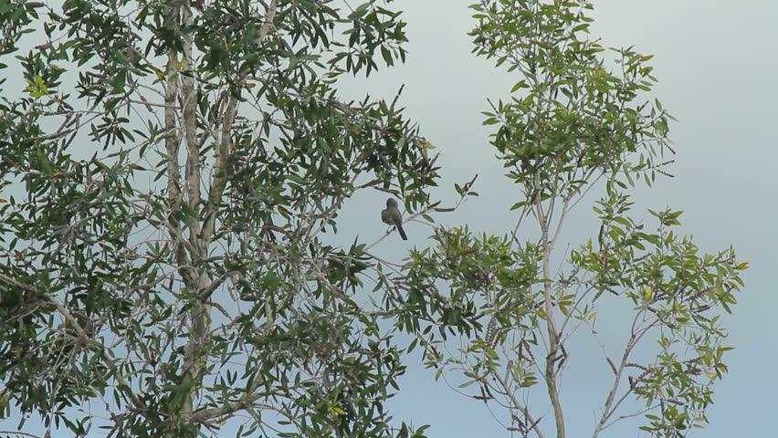 Header of kingbird