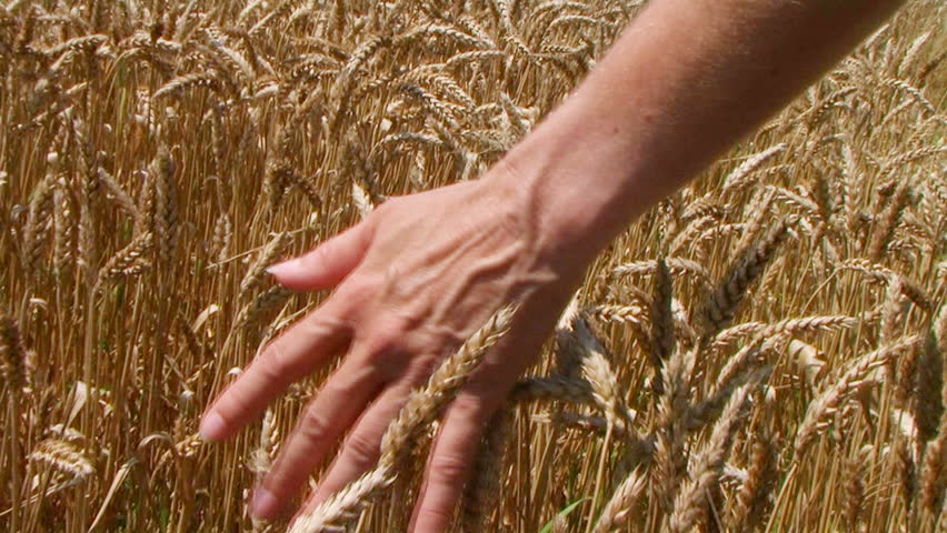 Close-up of woman's hand running through wheat field, dolly shot.
