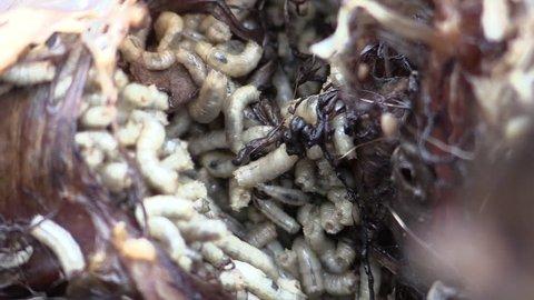 Fly Larvae Many Feeding Spring Maggot Decomposing Maggots