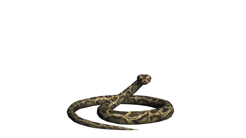 Snake & jungle carpet python attack,sliding decorative non venomous,wild animal herpetology background. cg_01918
