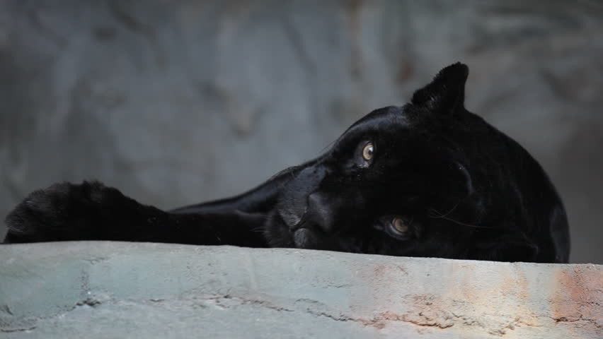 HD footage of a black panther resting after a heavy meal